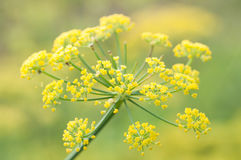 Цветки фенхеля Стоковые Фото