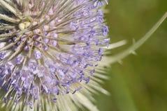 Цветки фиолета близкие поднимающие вверх fullonum Dipsacus стоковое изображение rf