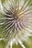 Цветки фиолета близкие поднимающие вверх fullonum Dipsacus стоковые изображения rf
