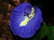 цветки фиолетового гороха Стоковое Изображение