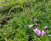 Цветки фиолетового колокола форменные в холодном свете Стоковое фото RF
