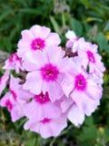 Цветки флокса blossomed в саде стоковое изображение rf