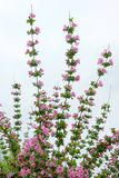 Цветки Флориды Weigela стоковые изображения