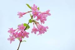 Цветки Флориды Weigela стоковые изображения rf