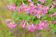 Цветки Флориды Weigela стоковая фотография