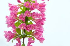 Цветки Флориды Weigela стоковая фотография rf