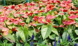 Цветки фламинго (цветок мальчика) в саде Стоковое Изображение