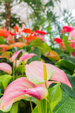 Цветки фламинго Стоковые Фото