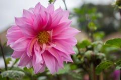 Цветки, хризантема цветков Стоковая Фотография RF