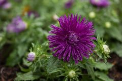 Цветки, хризантема цветков Стоковое фото RF