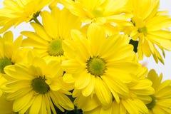 Цветки хризантемы желтого цвета Стоковое фото RF