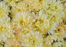 Цветки хризантемы закрывают вверх, желтеют с розовыми окрашиванными лепестками стоковое изображение rf