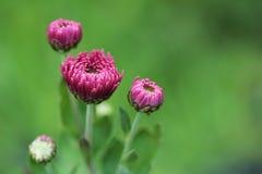 Цветки хризантемы на предпосылке запачканной природой зеленой Стоковое Изображение RF