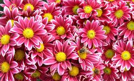 цветки хризантемы осени Стоковое Изображение