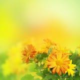 Предпосылка хризантемы флористическая Стоковое фото RF