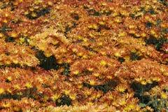 цветки хризантемы Стоковое Изображение
