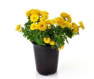 цветки хризантемы Стоковая Фотография