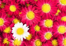 Цветки хризантем Стоковое Изображение RF