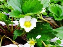 Цветки цветений клубники закрывают вверх Стоковые Изображения
