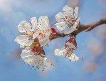Цветки цветения абрикоса стоковое изображение rf