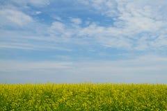 Цветки цветения рапса Стоковые Изображения RF