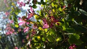 Цветки цветения розовые Стоковые Изображения