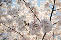 Цветки цветения Сакур-вишни на предпосылке дерева вишневого цвета Стоковые Изображения RF