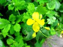 Цветки цветения celandine стоковое фото