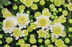 Цветки цветеня и бутона хризантемы Стоковые Фотографии RF