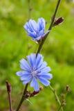 Цветки цикория Стоковые Изображения RF