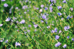 Цветки цикория Стоковое Изображение RF