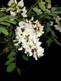 Цветки черной саранчи с черной предпосылкой Стоковая Фотография