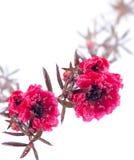 Цветки шарлаха Leptospermum над белой предпосылкой Стоковое Фото