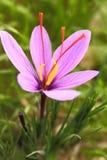 Цветки шафрана стоковая фотография rf