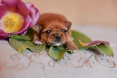 Цветки щенка стоковые фотографии rf