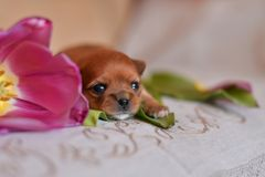 Цветки щенка стоковые изображения