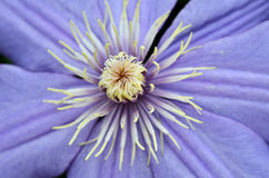 Цветки льна закрывают вверх Стоковые Фото