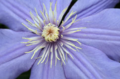 Цветки льна закрывают вверх стоковые изображения rf