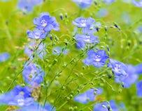 Цветки льна Поле голубых цветений льна голубой льнен голубое fla стоковое фото