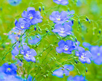 Цветки льна Поле голубых цветений льна голубой льнен голубое fla стоковые изображения rf