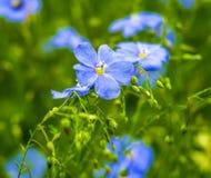 Цветки льна Поле голубых цветений льна голубой льнен стоковые изображения