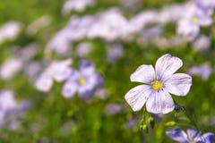 Цветки льна (полотна) Стоковое Изображение