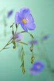 Цветки льна Стоковые Изображения