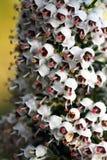 Цветки Эрики Стоковое фото RF