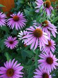 Цветки эхинацеи постоянные с целебными свойствами стоковые изображения rf