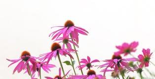 Цветки эхинацеи Стоковая Фотография RF
