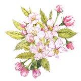 Цветки яблока акварели нарисованные рукой Иллюстрация плодоовощ еды Eco естественная Ботаническая иллюстрация изолированная на бе Стоковое Фото