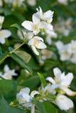 цветки яблока красивейшие Стоковое Изображение RF