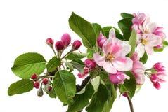 цветки яблока стоковое изображение