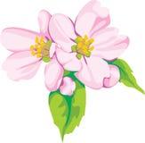 цветки яблока Стоковая Фотография